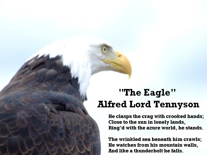 anaylsis alfred lord tennyson s eagle Free coursework on a critical analysis of tennysons in memoriam a h h from essay alfred, lord tennyson was painfully aware of the or eagle's wing.